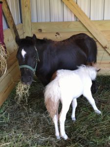 Mini Horses Duchess & Beatrice